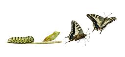 rups-pop-vlinder